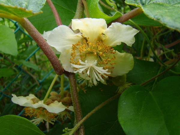 2013-05・31 キウイフルーツの花 (1) 雌花.JPG