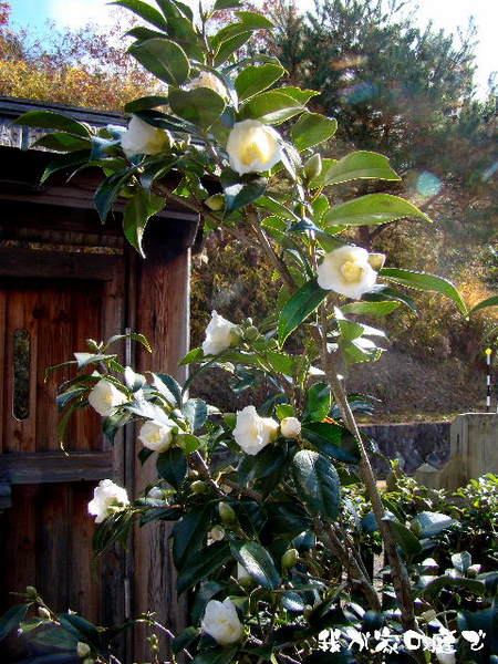 2013-12・08 我が家の庭で (3).jpg