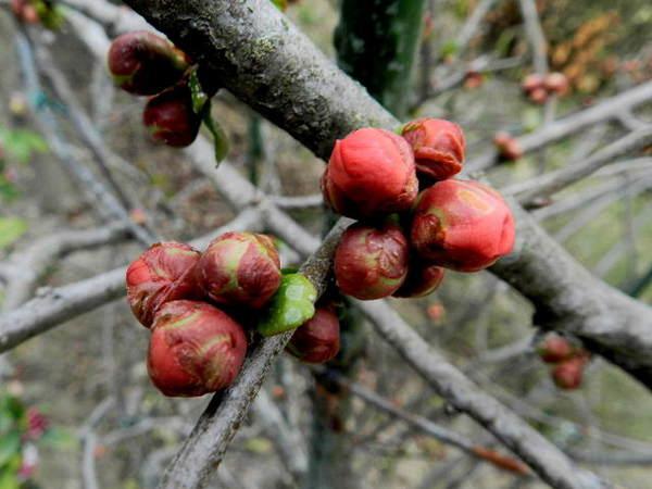 2014-03・25 木瓜の花芽.jpg