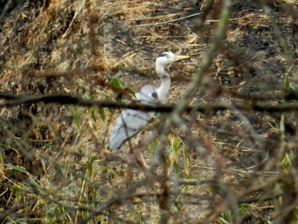 2014-03・26 アオサギが.jpg