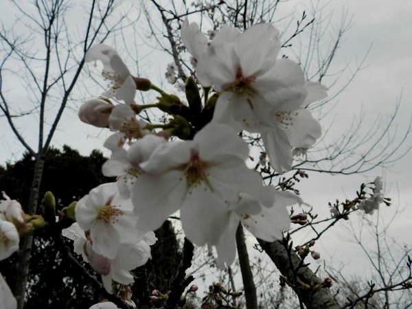 2014-03・29 サクラノ開花.jpg