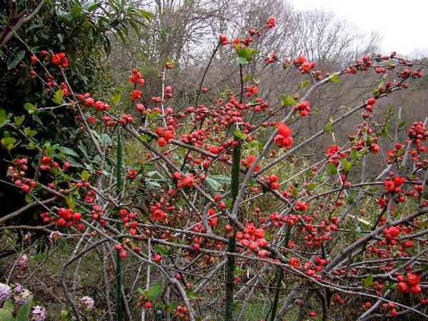 2014-03・31 木瓜の花.jpg