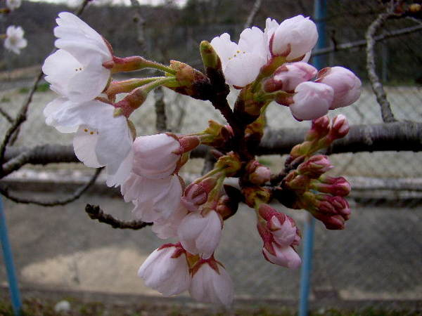 2014-03・31 桜.jpg