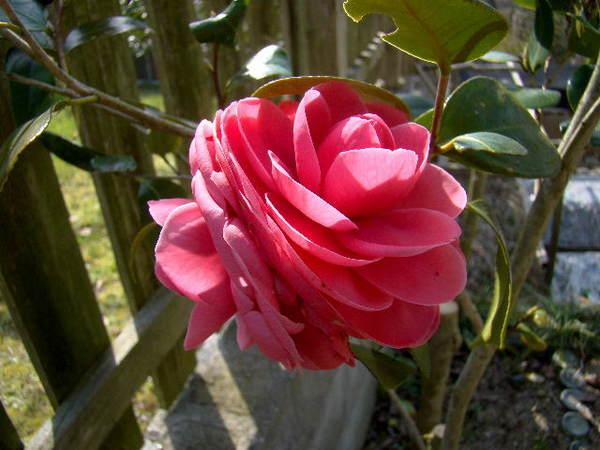 2014-04・01 庭で咲く椿.jpg