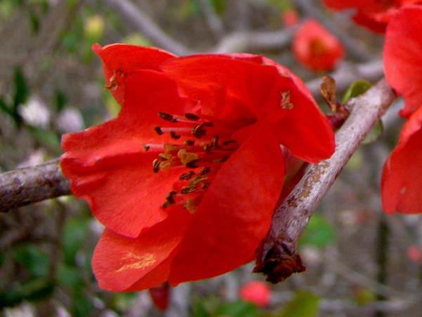 2014-04・05 木瓜の花 (3).jpg
