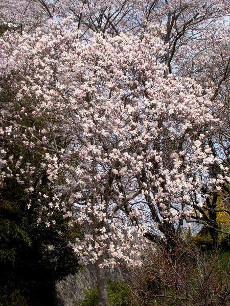 2014-04・05 木蓮 (5).jpg