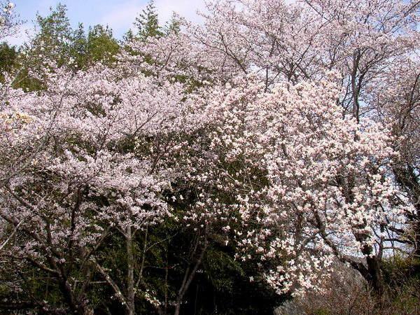 2014-04・05 木蓮 (6).jpg