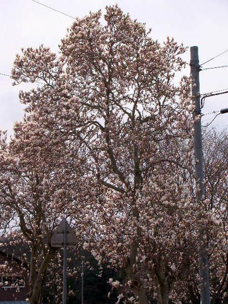2014-04・05 木蓮 (7).jpg