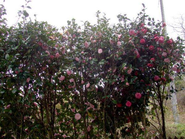 2014-04・06 我が家の庭で (1).jpg
