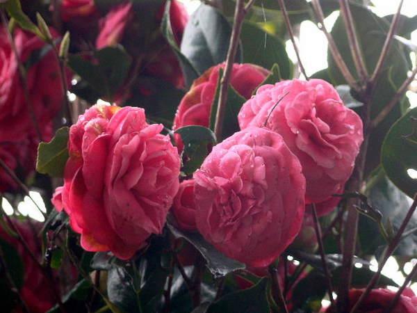 2014-04・06 我が家の庭で (4).jpg