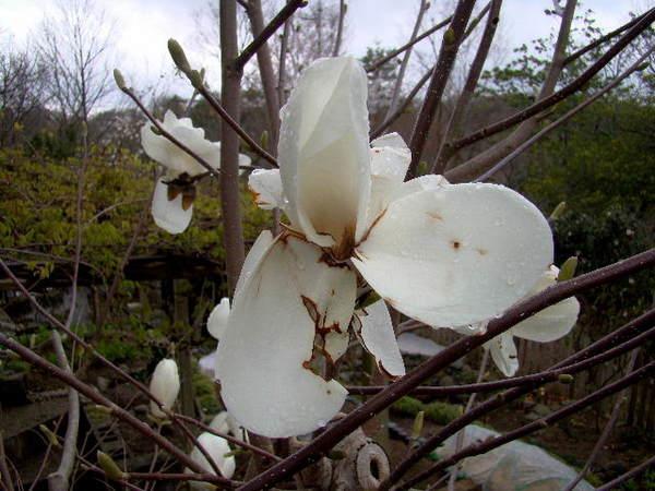 2014-04・06 我が家の庭で (6).jpg