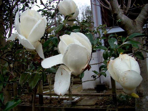 2014-04・06 我が家の庭で (7).jpg