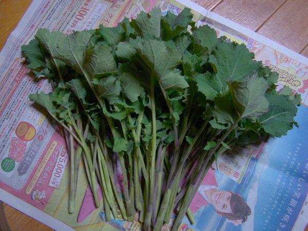 2014-04・07 からし菜の収穫.JPG