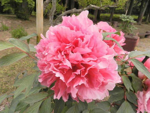 2014-05・20 永澤寺・はなじゅうたん園にて (24).JPG