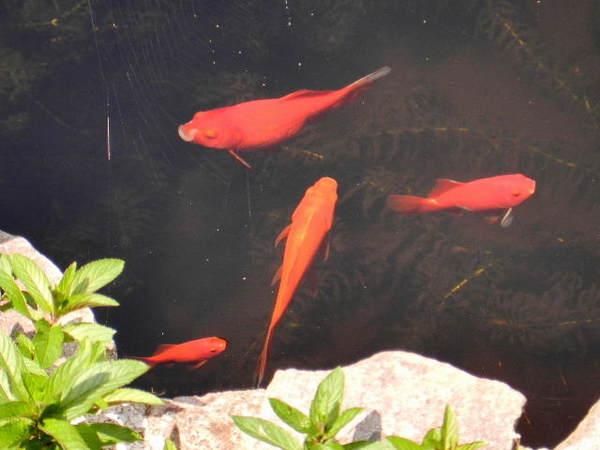2014-05・29 池の金魚.JPG
