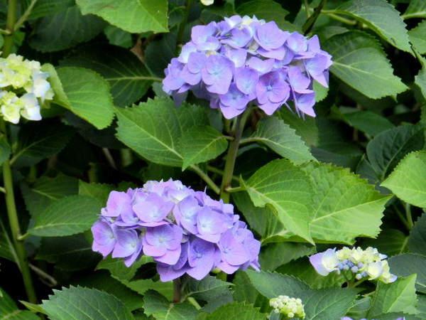 2014-06・19 ご近所の庭先で (3).JPG