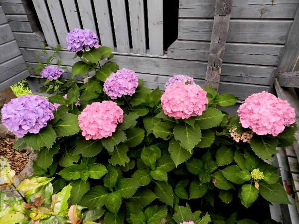 2014-06・21 我が家の庭で (1).JPG