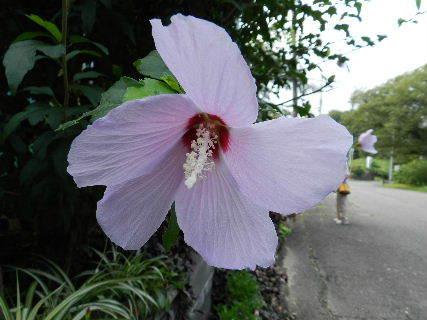 2014-08・17 ムクゲの花.JPG