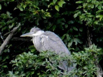 2014-09・17 青鷺;幼鳥.JPG