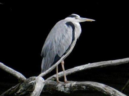 2014-09・17 青鷺;成鳥.JPG