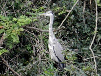 2014-09・19 青鷺の幼鳥が.JPG