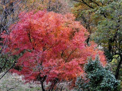 2014-11・25 隣りの紅葉.JPG