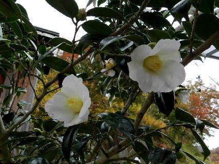 2014-11・26 白の椿.JPG