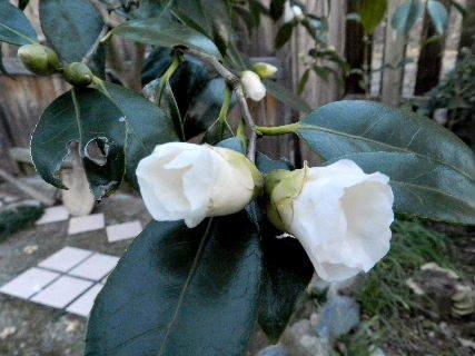 2014-12・02 庭の白い椿 (3).JPG