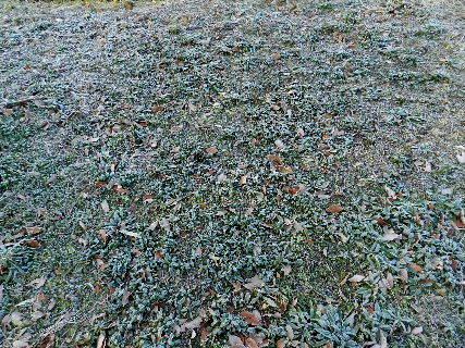 2014-12・13 今朝の霜 (1).JPG
