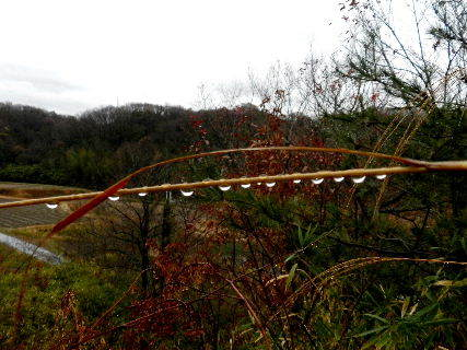 2014-12・20 雨の雫.JPG