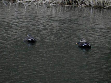 2014-12・22 今日の池面には (4).JPG